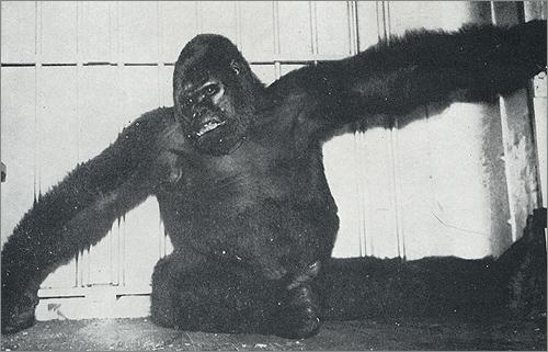 Biggest Gorilla Ever Recorded Gargantua the great